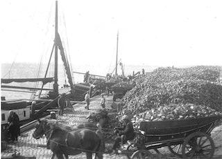 Suikerbieten worden met paard en wagen aangevoerd in de haven.